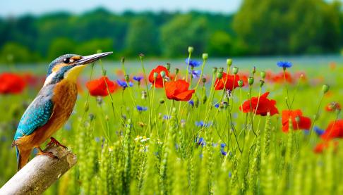 Wild flower meadow with Kingfisher